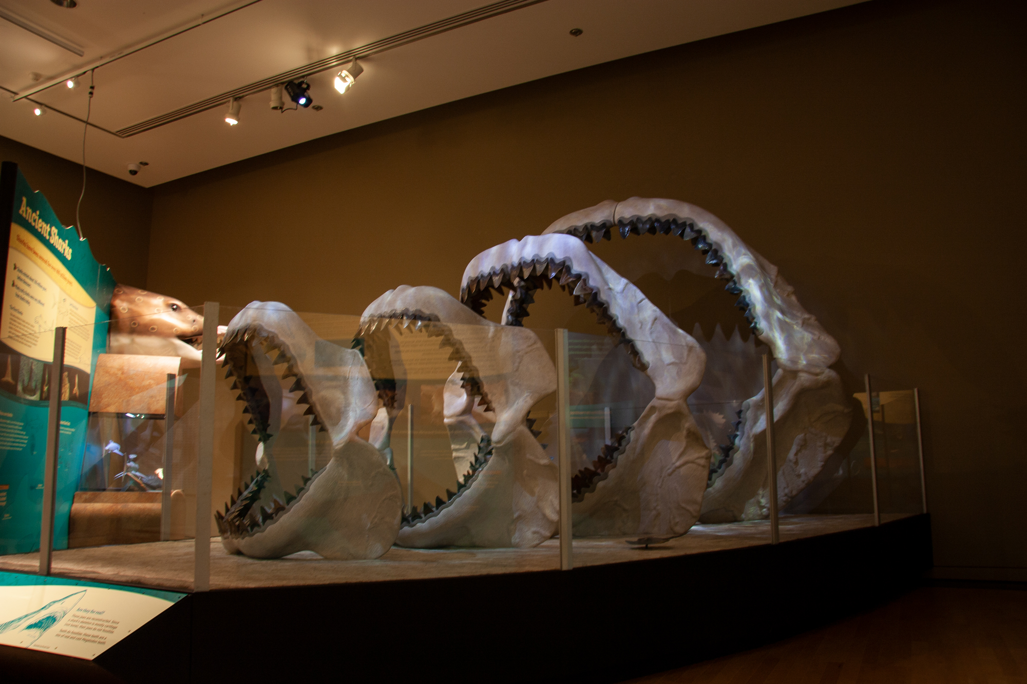 The Megalodon's story is now told at the Sam Noble Oklahoma Museum of Natural History in Norman.{ } (SNOMoNH)