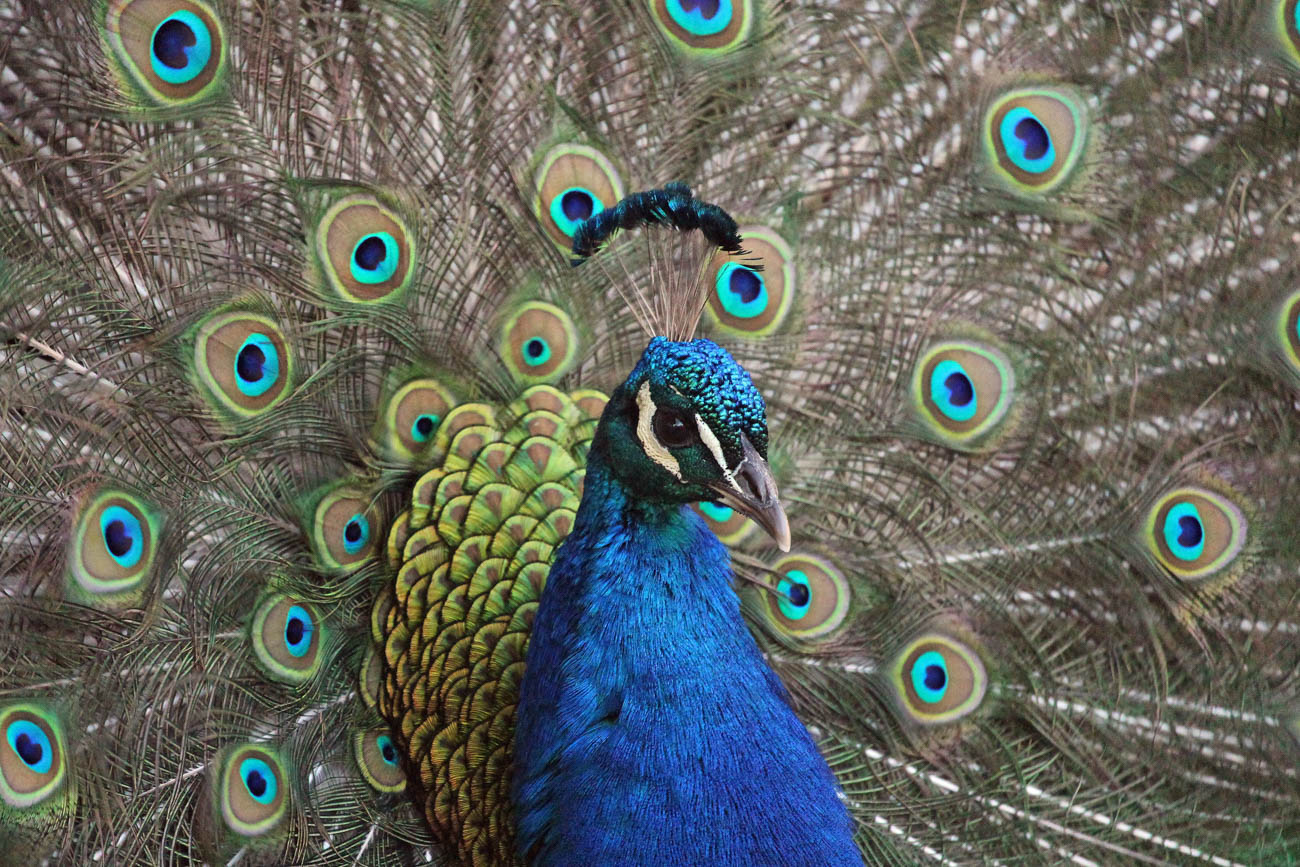 A peacock at the Cincinnati Zoo & Botanical Garden / Image: Larry Thomas // Published: 1.16.19