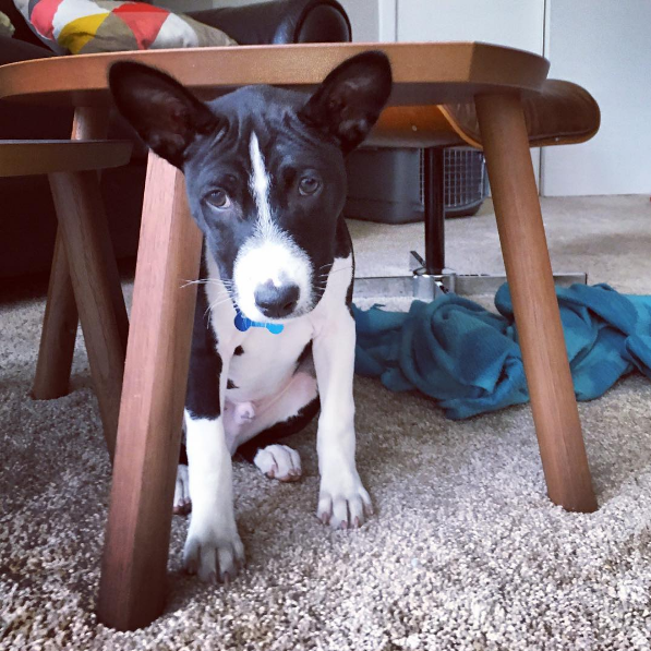 Felix the Basenji was born December 8, 2015 here in Washington, D.C. and he's a full-blown, professional sock thief. (IMAGE: IG user @felixthebasenji)
