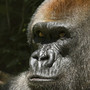Beloved gorilla dies at Woodland Park Zoo