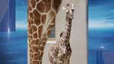 Baby giraffe born at Maryland Zoo, having issues nursing