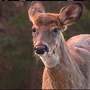 Neighbors again interfere with Fayetteville deer cull