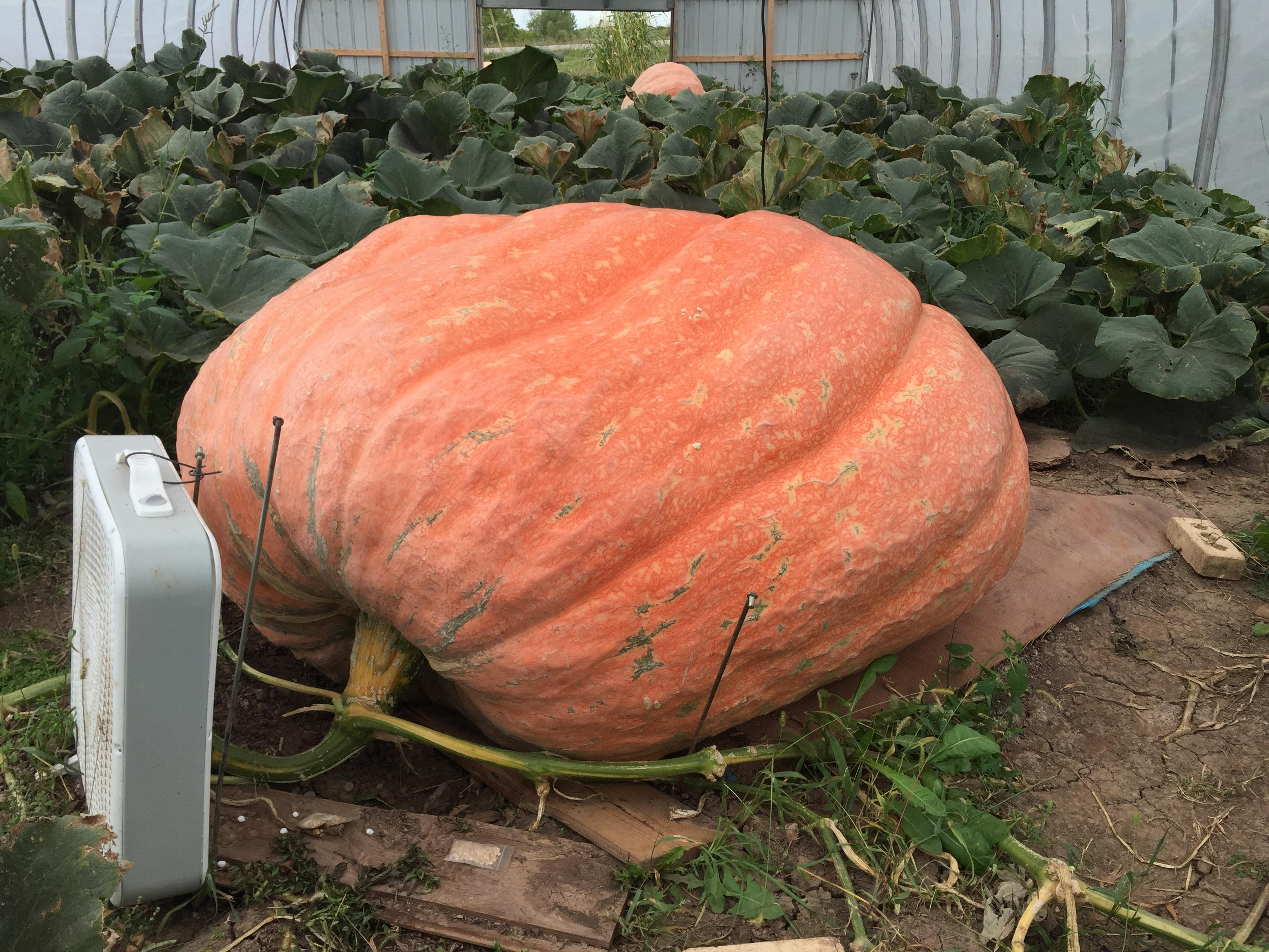 Giant pumpkin in Fond du Lac County estimated to weigh about 1800 pounds, October 5, 2017 (WLUK/Eric Peterson)