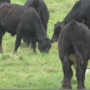 Dozens of cattle on the loose