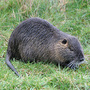California wildlife officials ask for public's help against nutria