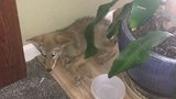 Young coyote enters home in Kennewick, to be released into wild