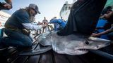 Great white shark pings off Port St. Lucie
