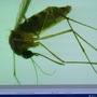 West Nile Virus found in some Blue Ash mosquitoes