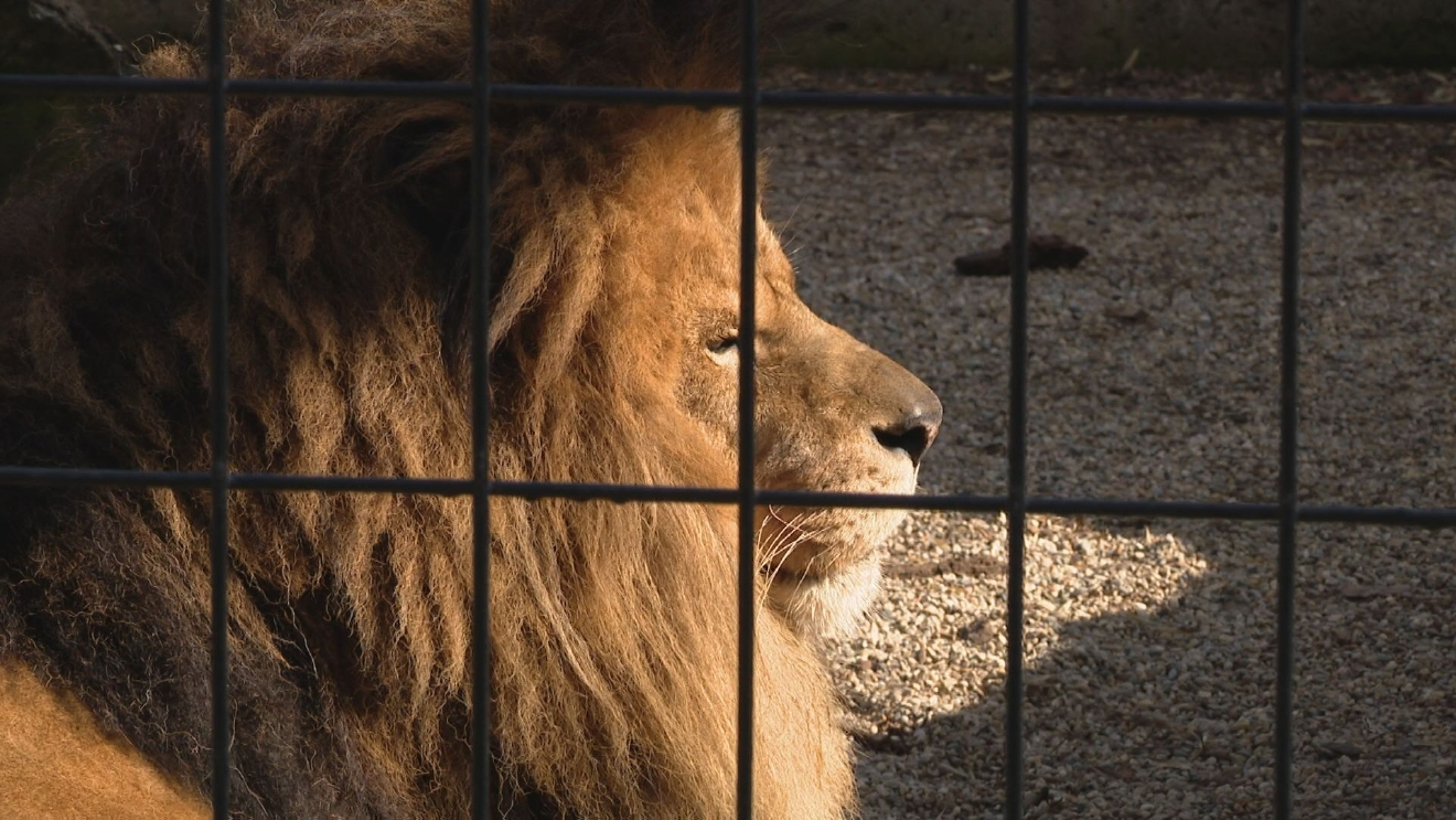 "Potawatomi Zoo houses lions in a habitat they consider ""outdated"" and would like to see improved.// Demarco Brown WSBT22"