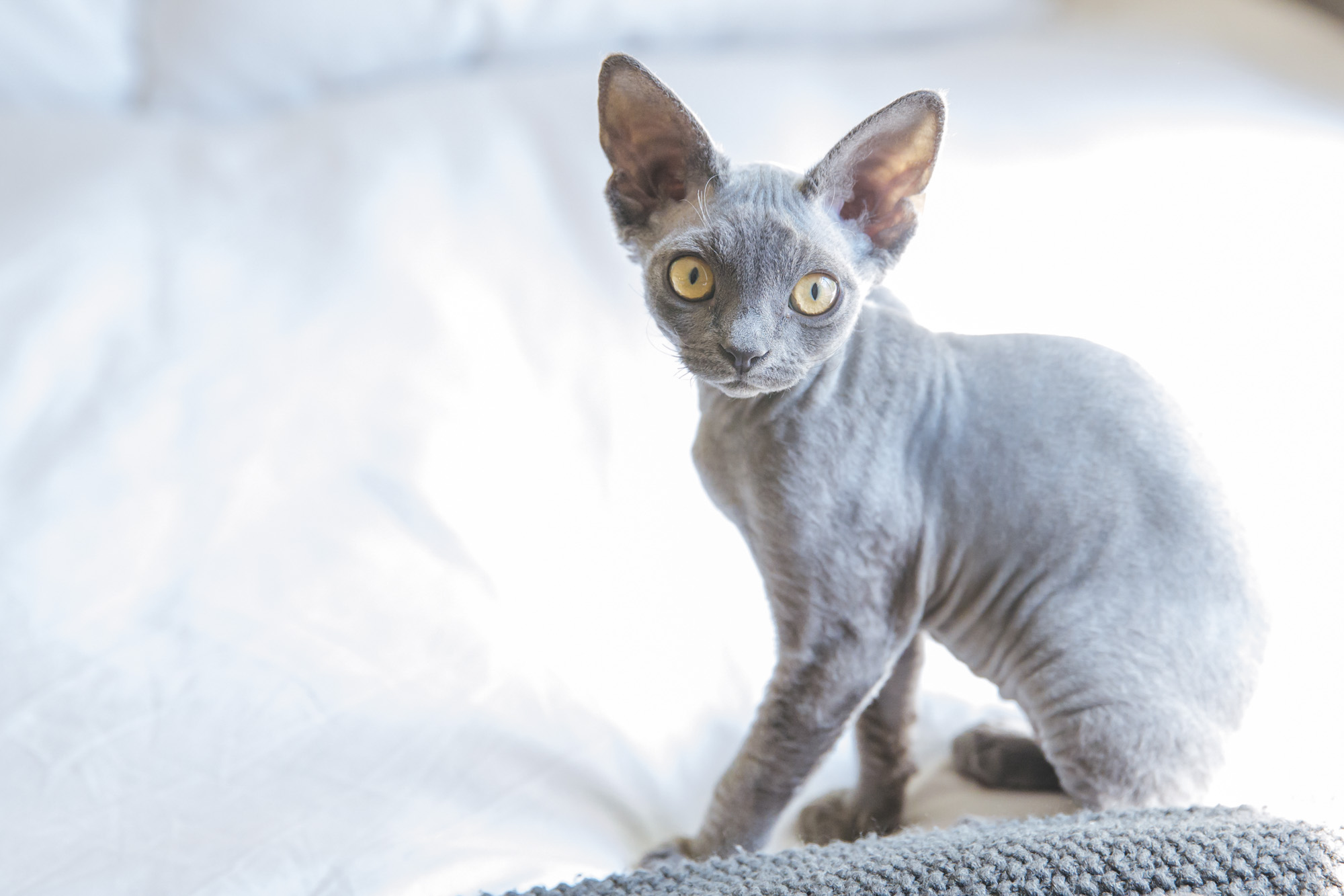 Meet Stevie! Stevie is named after the beautiful QUEEN that is Stevie Nicks and her rockstar flair and amazing curly hair! Stevie is an 18 week old Devon Rex which is a very unique breed where the cats act like dogs (no seriously, google it). Stevie loves meeting new people, playing fetch and following her human parents around. Stevie likes anything that crinkles like chip bags, toys and wrappers, face rubs and baths! She dislikes bicycles, blenders and pirate cannons. You can follow Stevie's journey through life on instagram @steviethedevonrex.{ }The Seattle RUFFined Spotlight is a weekly profile of local pets living and loving life in the PNW. If you or someone you know has a pet you'd like featured, email us at hello@seattlerefined.com or tag #SeattleRUFFined and your furbaby could be the next spotlighted! (Image: Sunita Martini / Seattle Refined).