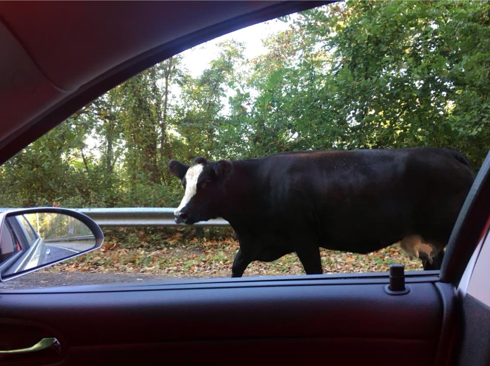 A New Jersey state trooper on his way to work had to tell a cow to mooove it. (New Jersey State Police)