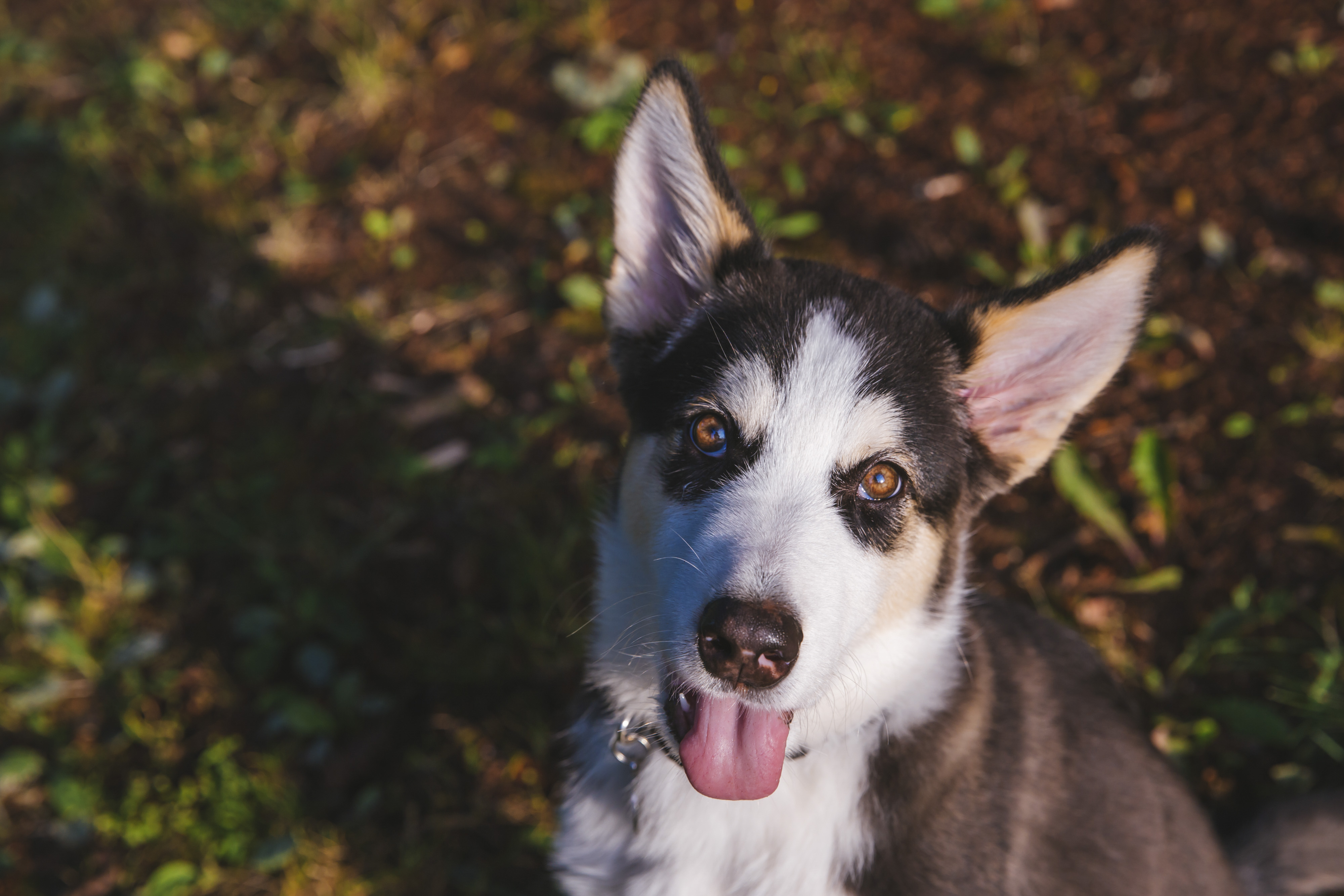 "<p>Meet Logen, the Husky/Malmute mix! Logen is a five-month-old boy who was a ""gift of happenstance."" A friend of his human was driving in Lynnwood when she saw him and his sister being sold on the side of the road. One phone call later and he now has a wonderful home in the big city! Logen likes anything edible, the Marymoor dog park and trips to the beach. He dislikes being alone and vegetables.{&nbsp;}The Seattle RUFFined Spotlight is a weekly profile of local pets living and loving life in the PNW. If you or someone you know has a pet you'd like featured, email us at hello@seattlerefined.com or tag #SeattleRUFFined and your furbaby could be the next spotlighted! (Image: Sunita Martini / Seattle Refined).</p>"