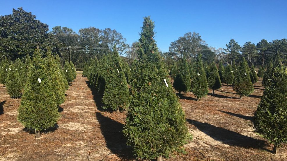 Christmas Tree Farms In Georgia.Local Christmas Tree Farm Was Affected By Hurricane Michael