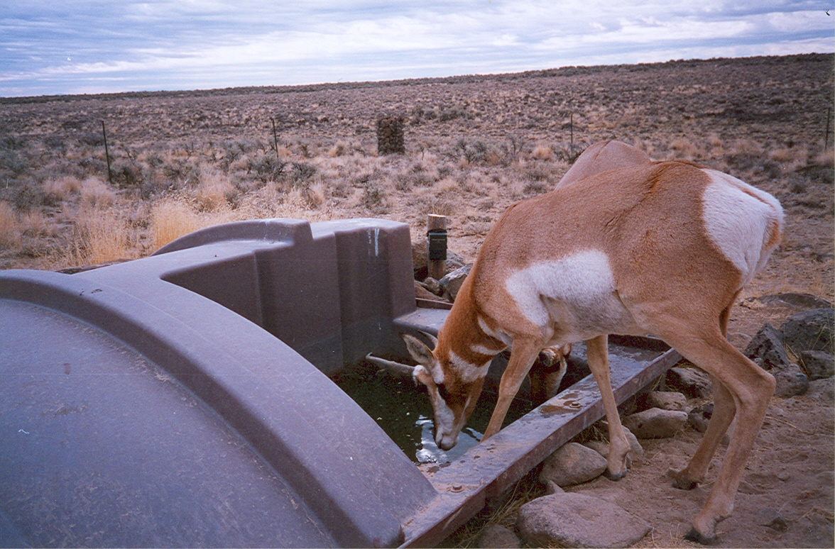 A trail camera catches pronghorn drinking in this undated photo (Courtesy NDOW)