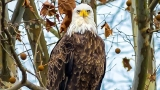 PHOTOS: Bald Eagle on Old Hickory Lake