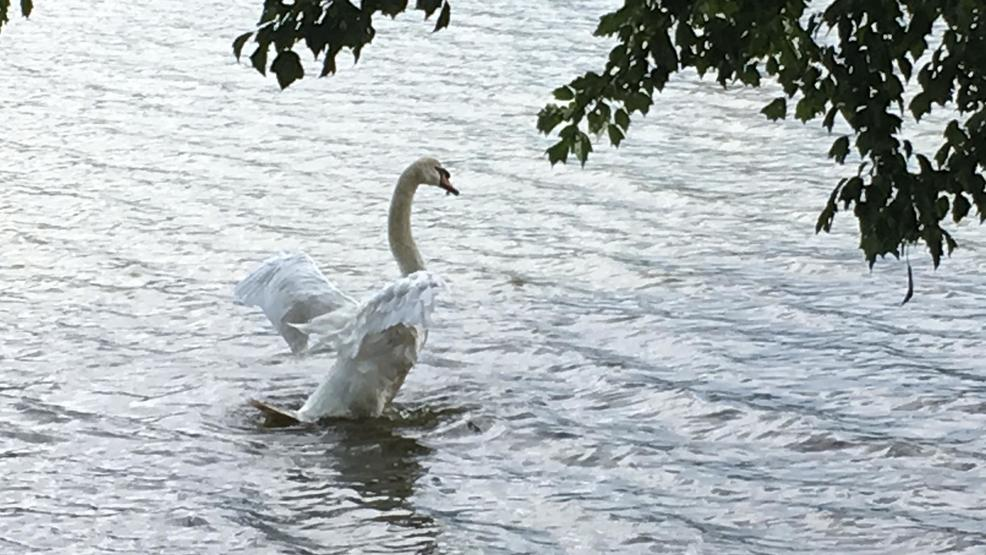 People rally to save injured swan at lake junaluska wlos for Lake junaluska fishing