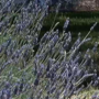 Southern Oregon Lavender Festival dates and times