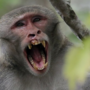 Study finds half of the monkeys in Silver Springs carry herpes B virus