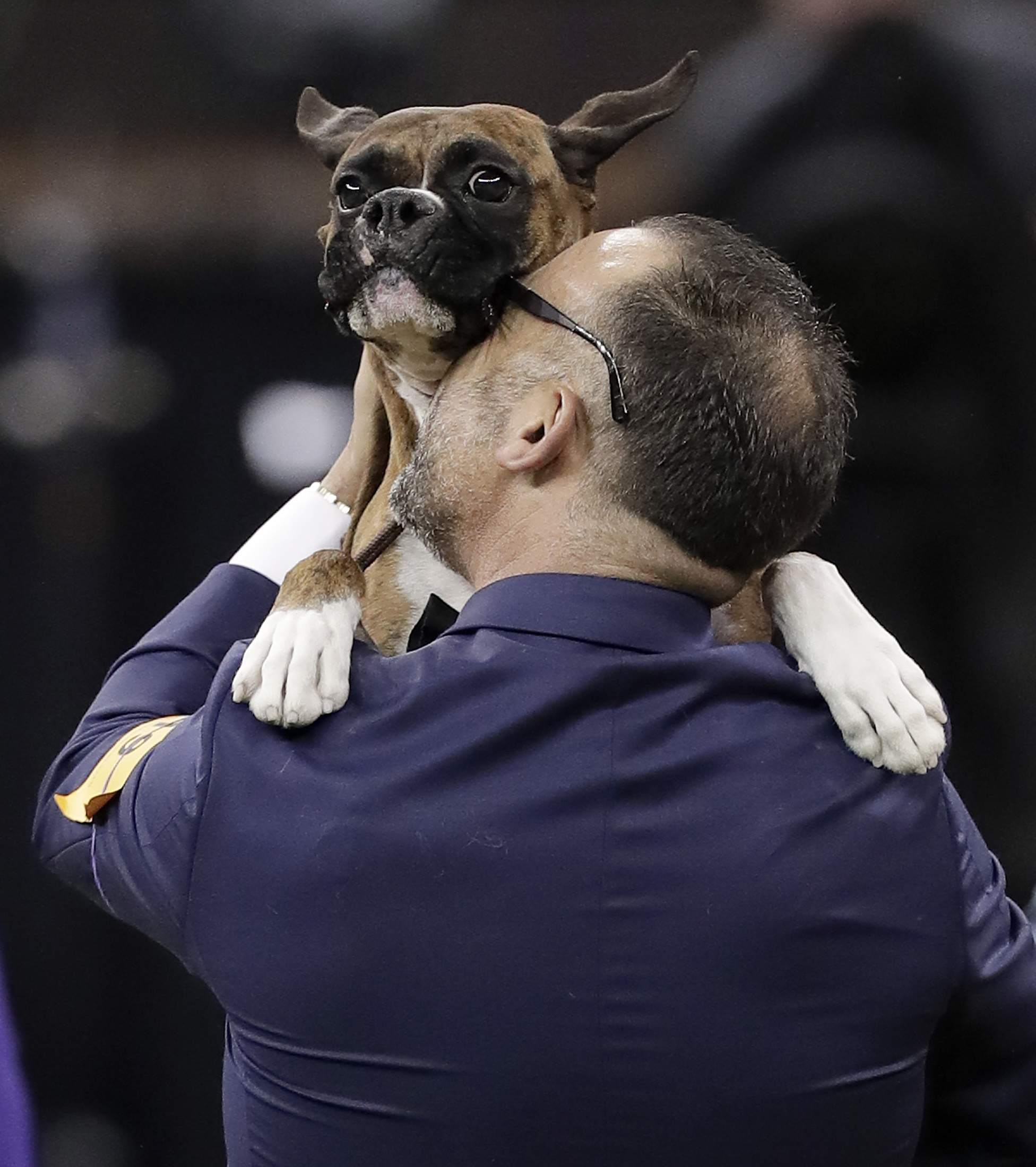 Handler Diego Garcia lifts up boxer Devlin after she won the working group competition during the 141st Westminster Kennel Club Dog Show, Tuesday, Feb. 14, 2017, in New York. THE ASSOCIATED PRESS