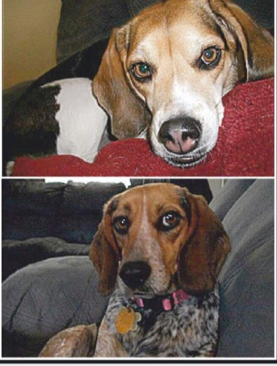 "<p>NAME: lexie</p><p>BREED: BEAGLE</p><p>MISSING SINCE: AUGUST 6, 2017</p><p>WENT MISSING FROM: NEW BLOOMFIELD</p><p>""They know their way home…These girls were perfectly trained pets. They'd go to anyone."" -Annessa Green, Owner</p><p></p>"