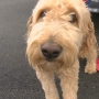 Case of stolen, sold goldendoodle raises Craigslist concerns