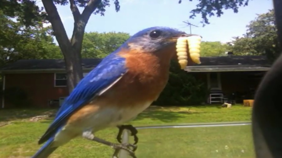 This male bluebird might look greedy however he is actually gathering all the food he can in order to feed his youngsters, even though they have fledged and left the nest. (Video Screen Grab: Richard Simms)