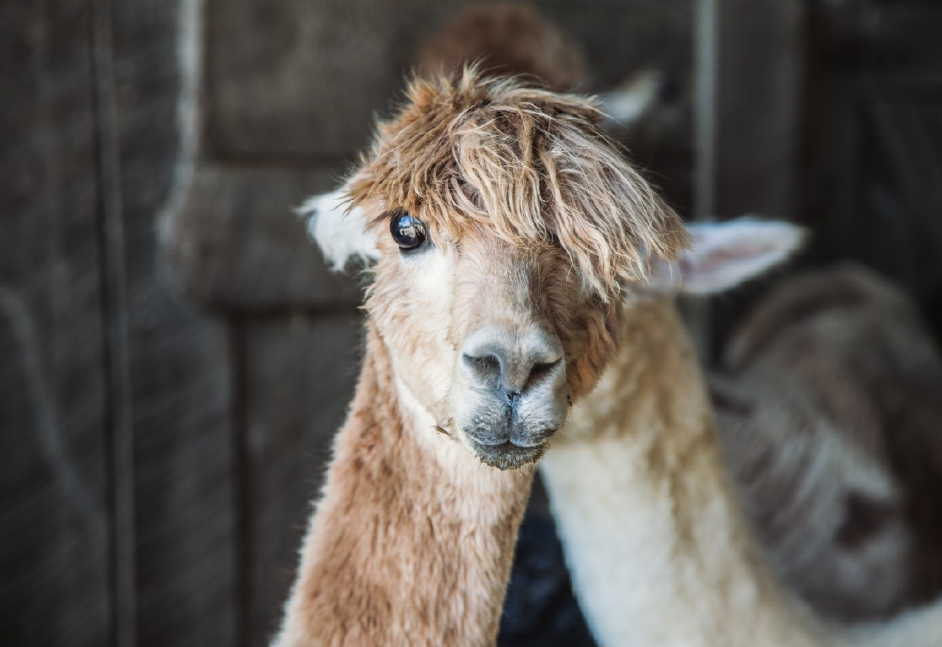 "Story: ""Your Heart Will Melt After Looking At These Alpaca Pics"" / Image: Catherine Viox"