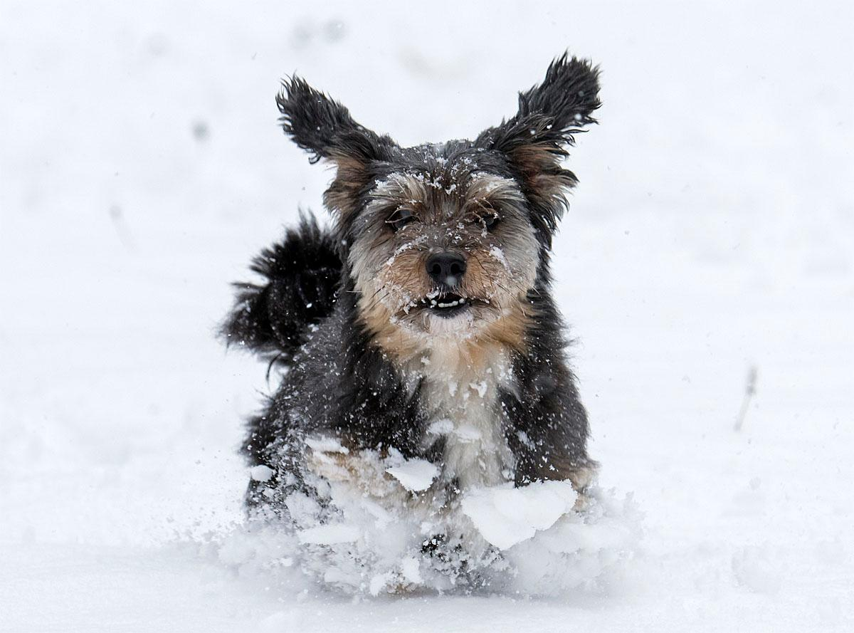 A dog runs in the freshly fallen snow in the Thuringian Forest near in Oberhof, Germany, Monday, Nov. 7, 2016. Large parts of Germany were hit by heavy rain and snowfalls. (AP Photo/Jens Meyer)