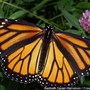 Columbia, Mo. creates sanctuary for migratory monarch butterflies