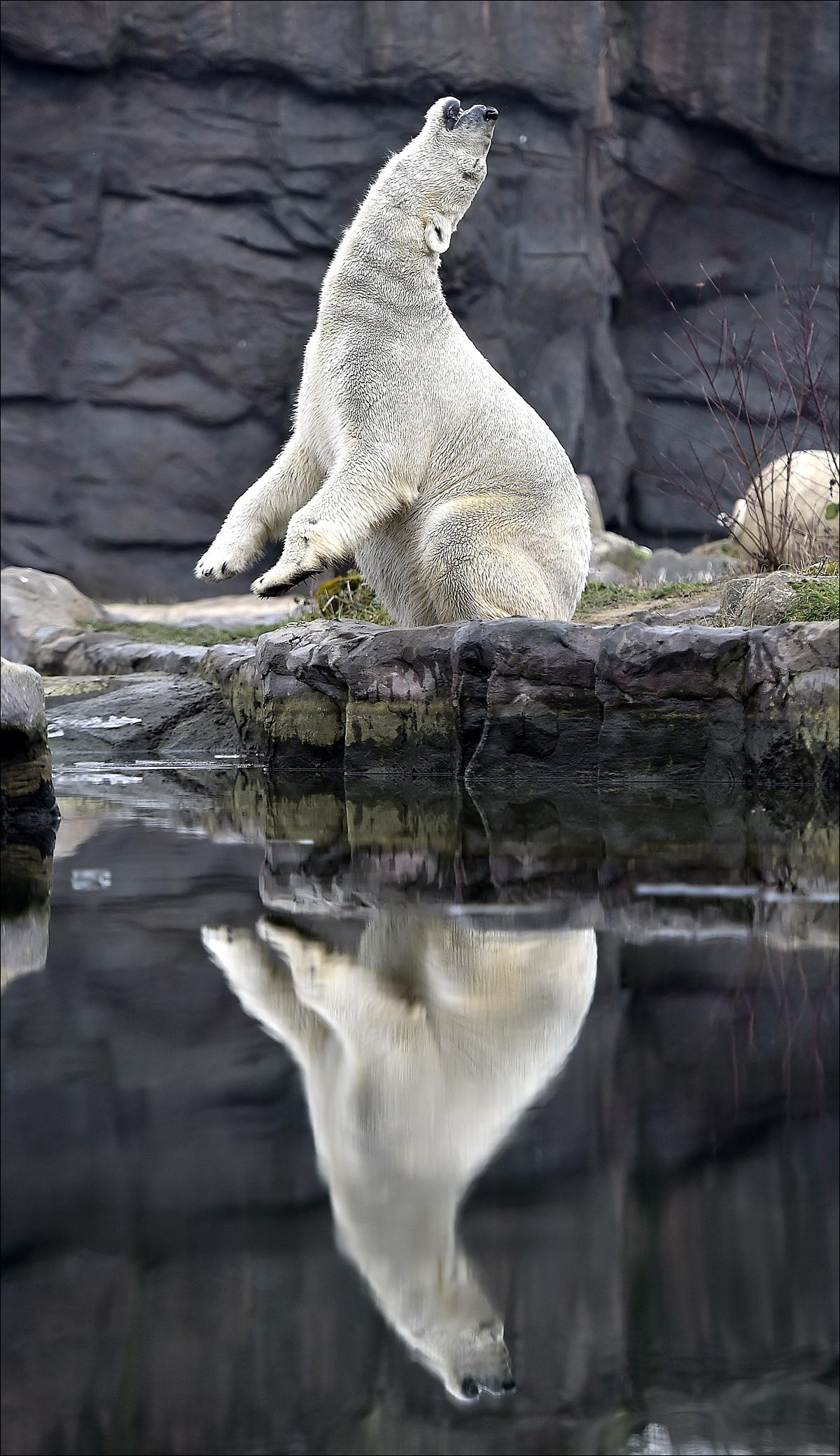 A polar bear enjoys the cold winter weather at the zoo in Gelsenkirchen, Germany, Wednesday, Jan. 20, 2016. (AP Photo/Martin Meissner)