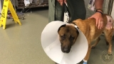 K9 Casper returns home after being shot