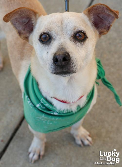 Joaquin is a 3/4-year-old, 14-pound Chihuahua. Joaquin is a cheerful and quiet little guy who gets along with everyone. He does not appear to have a typical Chihuahua personality. You can get more info about{ }Joaquin here: https://bit.ly/2Byp3De (Image: Courtesy Lucky Dog Animal Rescue){ }