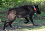 Information needed in illegal killing of gray wolf (Photo courtesy OSP).png