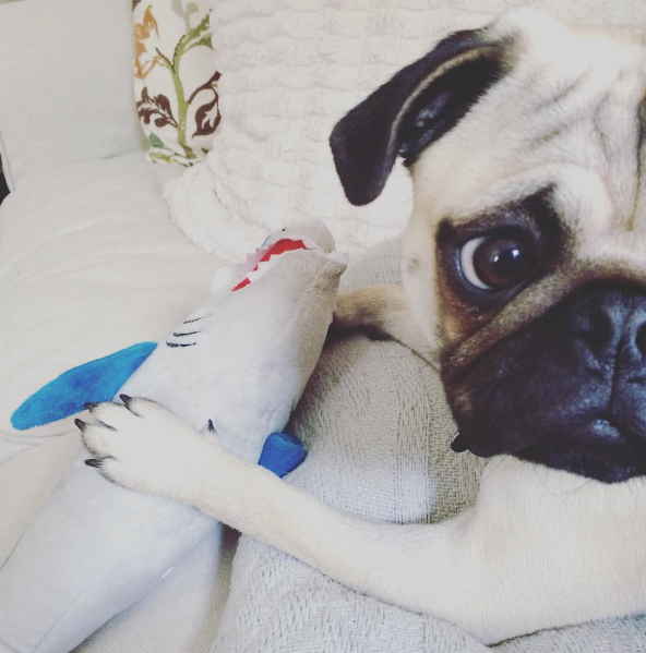 IMAGE: IG user @meetmrmoose / POST: In dis house we celebrate Shark Week #rulenumber1 #dontbitemom #pugsandsnugs #pugsofinstagram #dogsofinstagram #pugs #pugpuppy #pugpuppies #pawsomepugs #sharkweek