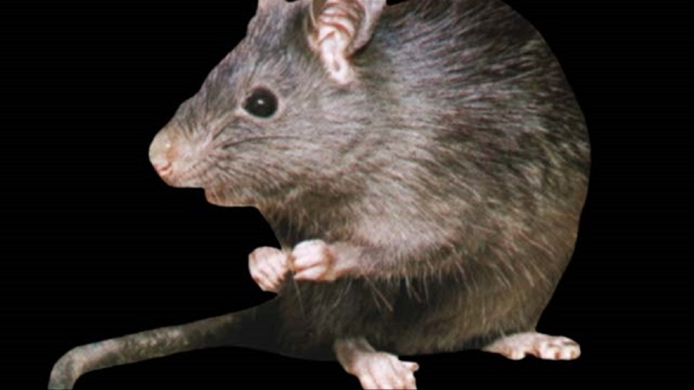 Tennessee mother and daughter among first humans to be infected by rat virus