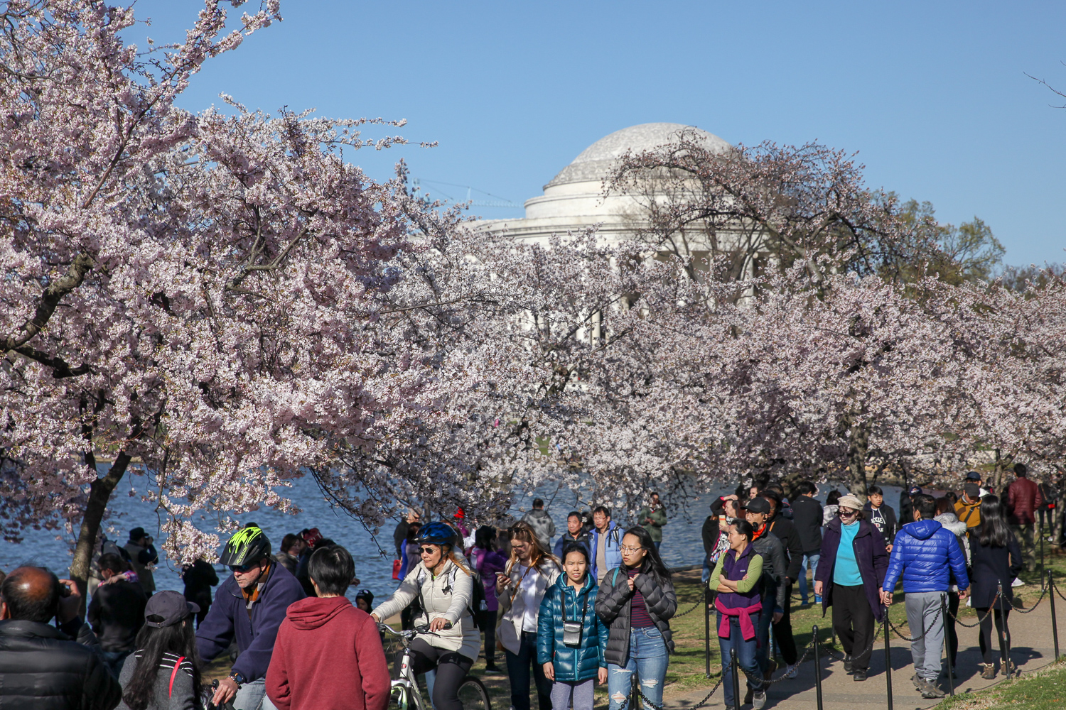 It's finally happening! After weeks of waiting and shifting predictions, peak bloom has arrived at the Tidal Basin. If you're willing to fight your way through the tourists, it's a gorgeous sight. However, the blooms may be at risk if snow comes this weekend, so hurry to the Tidal Basin and get your flower fix. (Amanda Andrade-Rhoades/DC Refined)