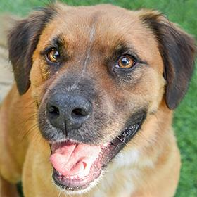Prepare to fall in love. Inigo-Montoya is a 3-year old Collie/Pit Bull Terrier mix who enjoys stuffed toys and playing fetch. You'll never grow tired of playtime with this pooch. Find out how to adopt him at SAHumane.org. (Photo: San Antonio Humane Society)