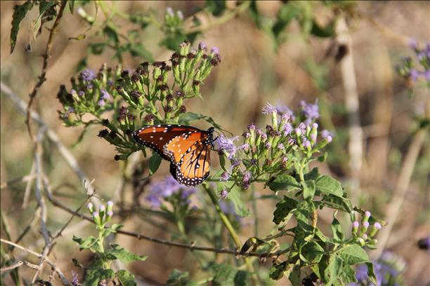 <a  href=&quot;http://share.valleycentral.com/Media/View/2794224&quot;>Monarch Butterfly</a>