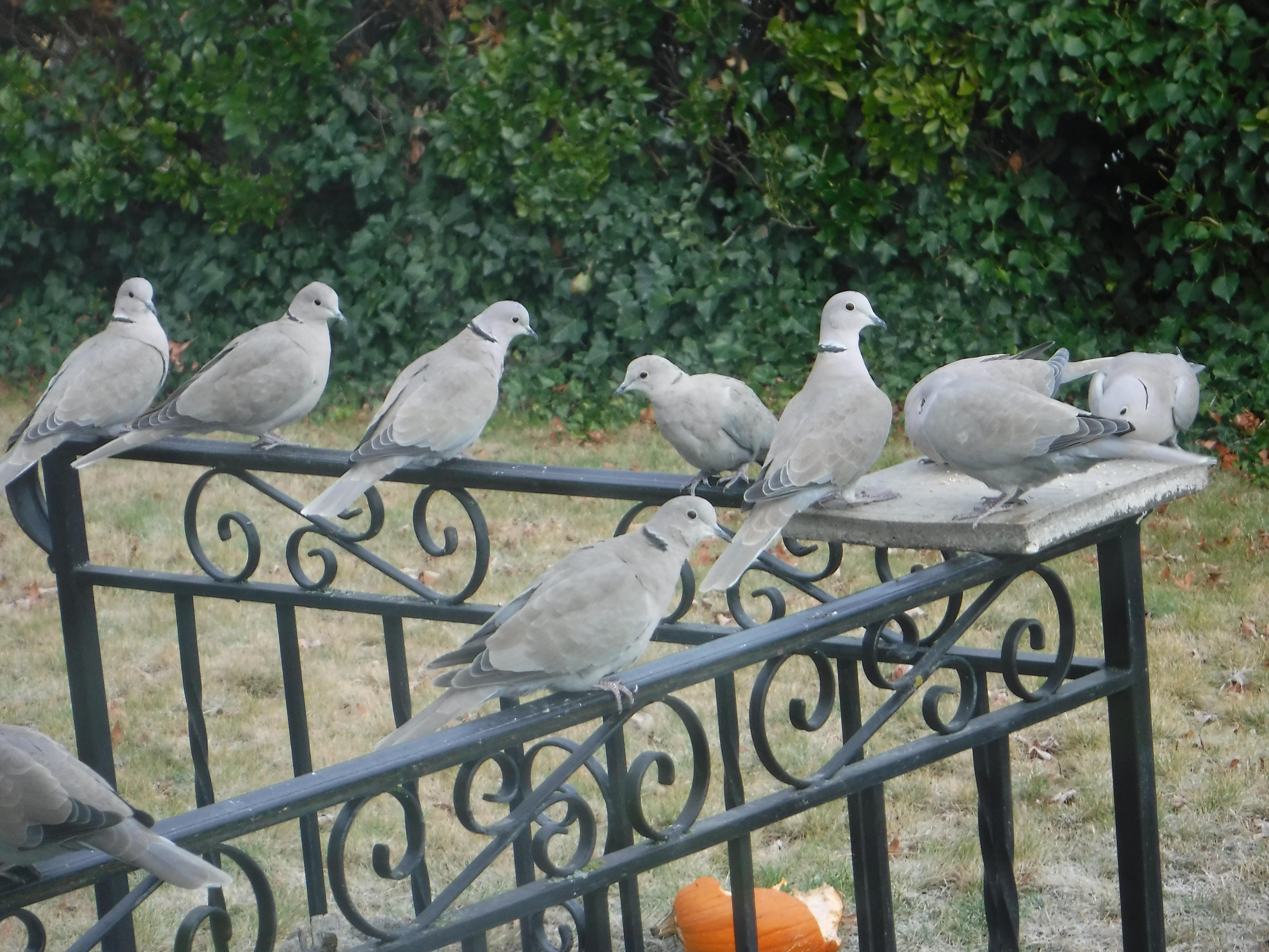 Tim McCartney took this photo of Eurasian collared doves in his Ashland yard on Dec. 7.