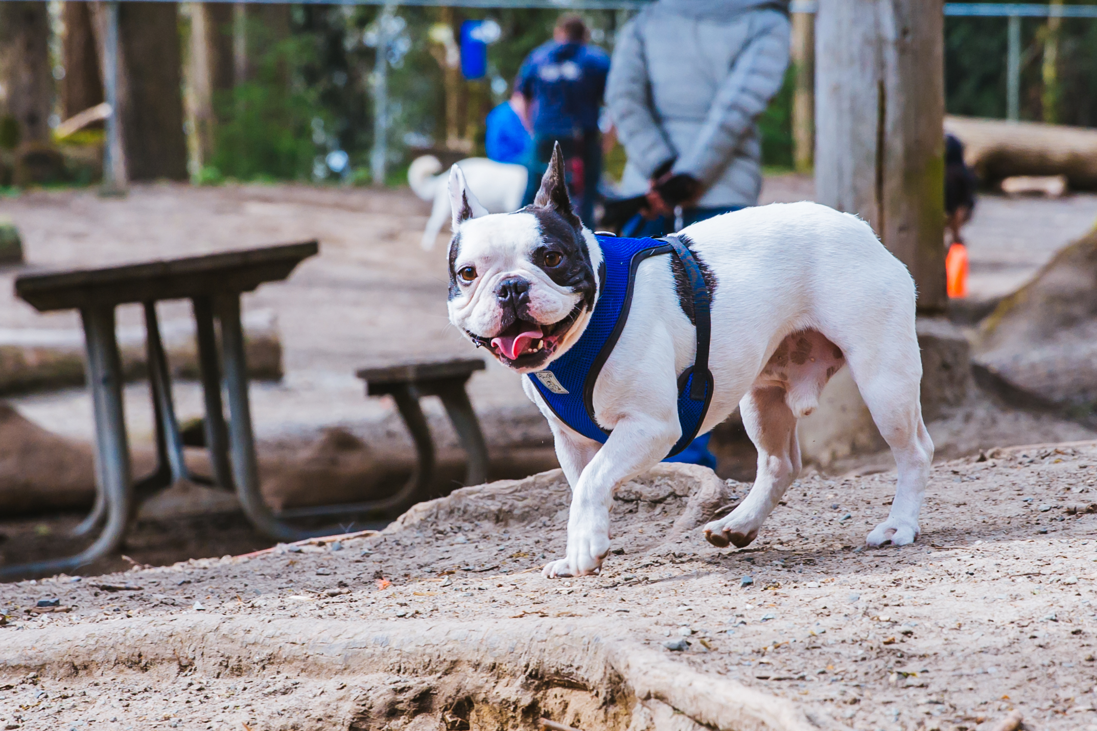 Our RUFFined Spotlight this week is a little different than usual - and that's thanks to this mug right here. Meet Johnny Cash the Frenchie! (Image: Sunita Martini)
