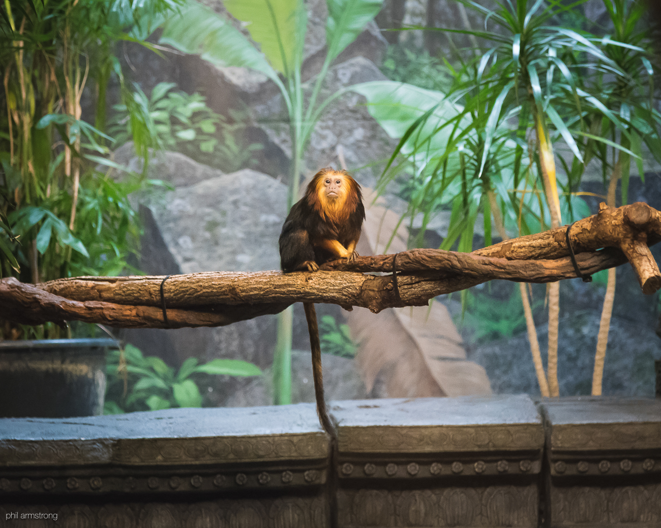 Golden-headed lion tamarin / Image: Phil Armstrong, Cincinnati Refined // Published: 8.25.17