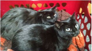 "Meet Taz and Harley through ""Just Cats"" in East Jordan."