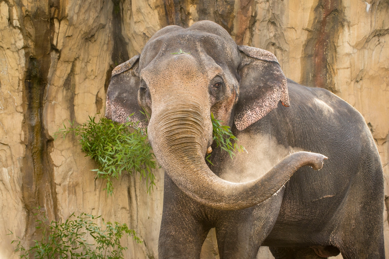 Bull Asian elephant Packy in April 2015. © Oregon Zoo / photo by Michael Durham.