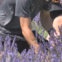 Lavender Harvest Days returns to the Yakima Valley
