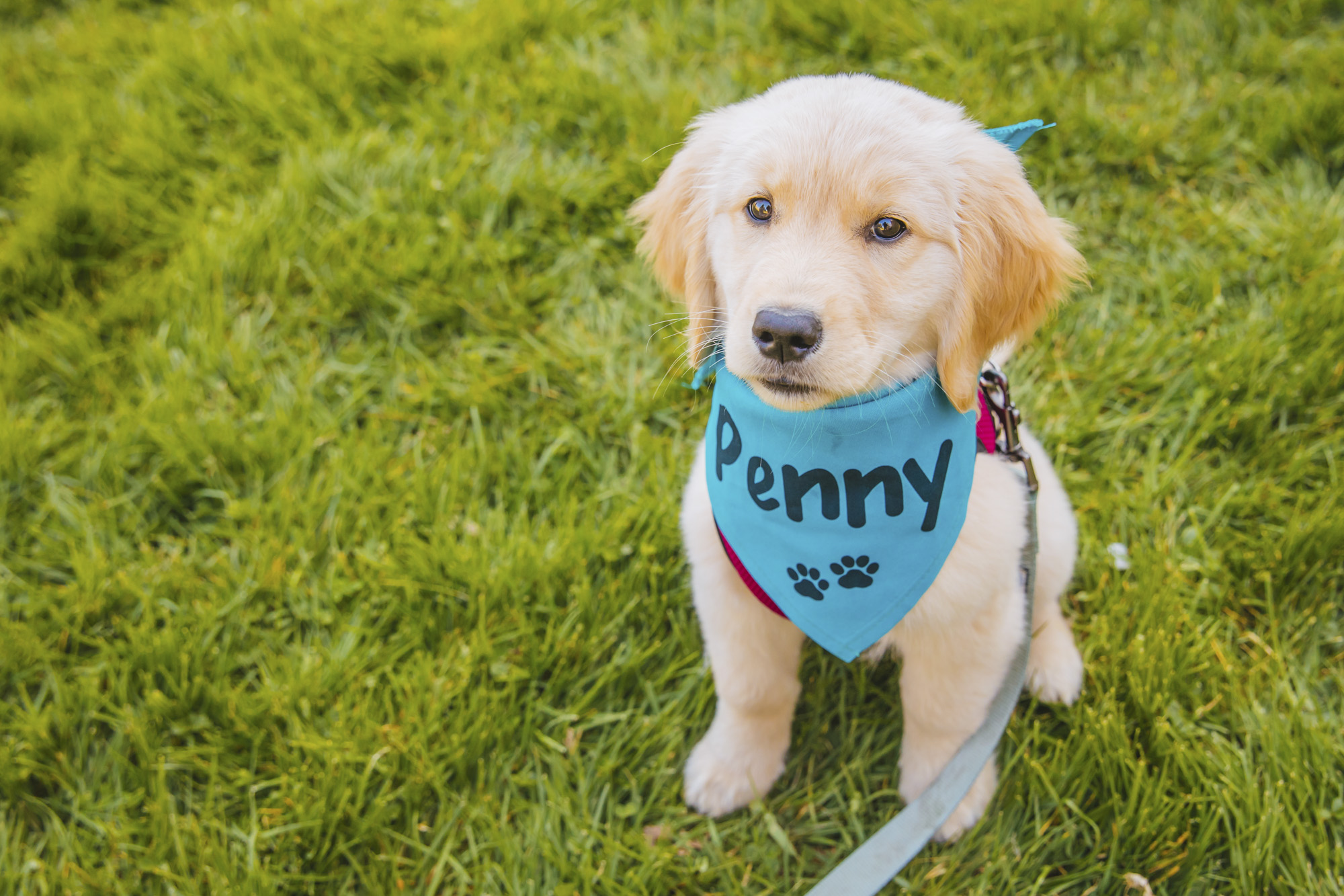 "Meet this gorgeous, gorgeous blonde - Penny Dickens the 12-week-old Golden Retriever. Penny is a sassy, smart, Seattle gal - she loves to explore and pet pets whenever possible. As a self proclaimed foodie who is highly motivated by snacks, Penny has mastered tricks at just 12 weeks and is currently working on the notorious ""roll over."" You can see her at a dog park near you! She likes pinecones, hammocks, teddy bears and posing for instagram. She dislikes Ramsay Bolton (same), and when her mom and dad nap without her (same). You can follow sassy Penny on instagram, @LuckyPenny_ThePuppy.{ }The Seattle RUFFined Spotlight is a weekly profile of local pets living and loving life in the PNW. If you or someone you know has a pet you'd like featured, email us at hello@seattlerefined.com or tag #SeattleRUFFined and your furbaby could be the next spotlighted! (Image: Sunita Martini / Seattle Refined)."