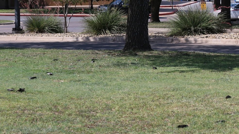 At least 50 birds found dead around the Mall of Abilene | KTXS