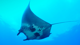 Photos: Graduate student discovers world's first known manta ray nursery
