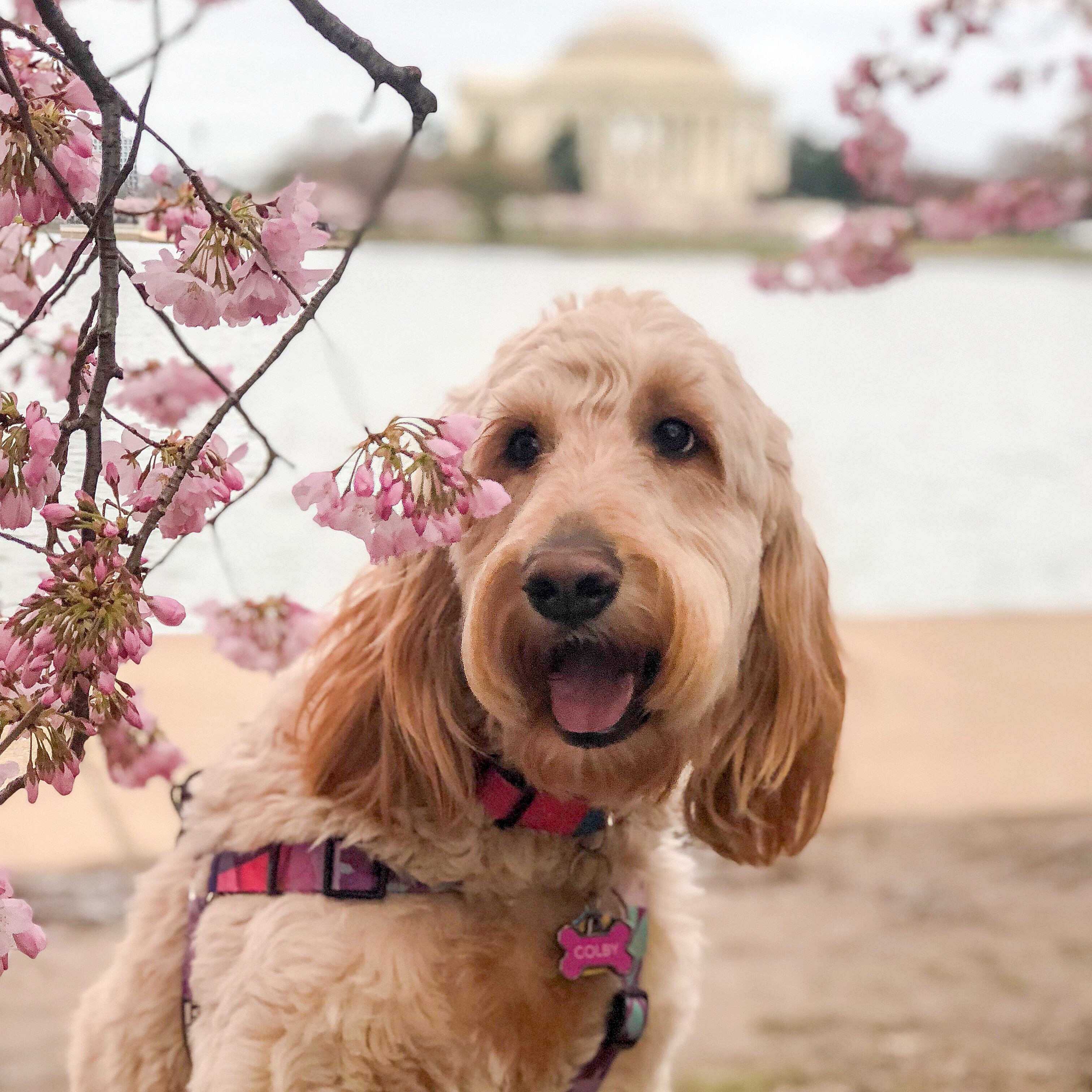 In honor of National Pet Day (which is basically like Christmas around here!) we checked in on a few of our favorite Instagram stars to see what they've been up to lately, and we noticed many of them had paid a visit to D.C.'s beloved blossoms. So for this week's special RUFFined Spotlight, we give you some adorable four-legged admirers of the cherry blossoms! (Image: via{ } IG user @colbycheesedoodle/{ }instagram.com/colbycheesedoodle/){ }