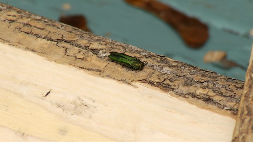 A Tiny Invasive Insect Is Causing Some Big Problems For Maines Trees WGME