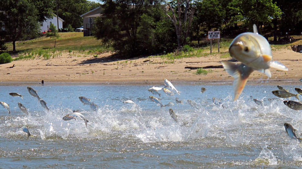 Study: Asian carp could find plenty of food in Lake Michigan, especially in Green Bay